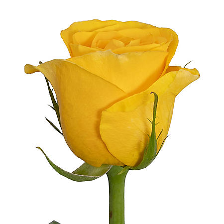 Roses, Yellow (choose 50 or 125 stems)
