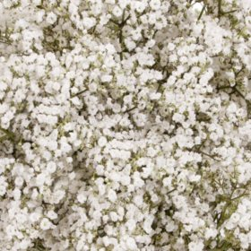 Gypsophila 'Baby's Breath', Premium Million Star (Choose 6 or 10 bunches)