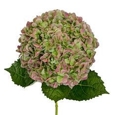 Jumbo Hydrangea, Antique Green (12 stems)
