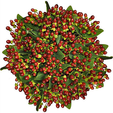 Premium Hypericum, Burgundy (120 stems)