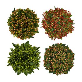 Premium Hypericum, Assorted Colors (120 stems)