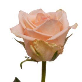 Roses, Peach (choose 50 or 100 stems)