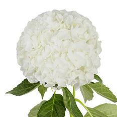Jumbo Hydrangeas - White - 12 Stems