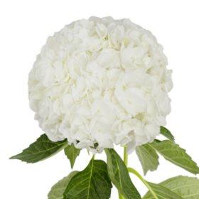 Jumbo Hydrangea, White (12 stems)