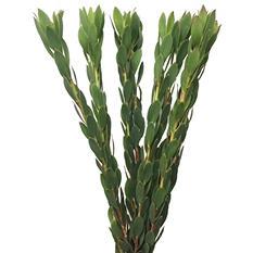 Leucadendron Discolor (60 stems)