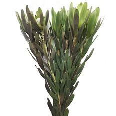 Leucadendron Chameleon (60 stems)