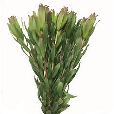 Leucadendron Laurel Yellow (60 stems)