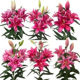 Rose Lily, Light Pink (Choose 30 or 50 stems)