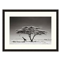 Framed Fine Art Photography - Giraffe Under Acacia by Andy Biggs