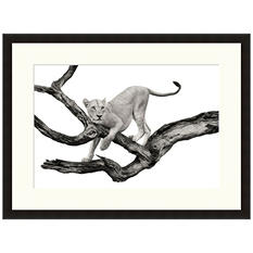 Framed Fine Art Photography - Lioness In a Tree by Andy Biggs