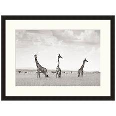 Framed Fine Art Photography - Three Giraffes by Andy Biggs