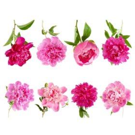 Peony, Pink (100 stems)