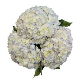 Novelty Hydrangeas (variety and colors may vary)