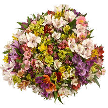 Lucky Bunch Fancy Rainbow Alstroemeria - 160 Stems