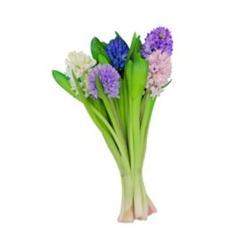 Hyacinth, Assorted Colors (40 stems)