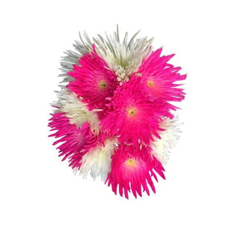 Hot Pink and White Spider Mums (60 ct.)