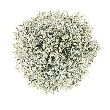 Pina Colada Limonium (60 stems)