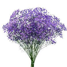 Gypsophila, Purple Glitter (choose stem count)