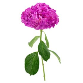 Painted Hydrangea, Cassis (choose 15 or 40 stems)