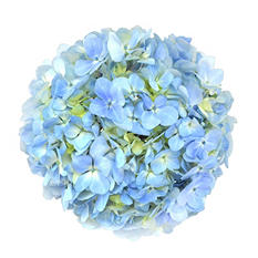 Hydrangea, Blue (Choose stem count)