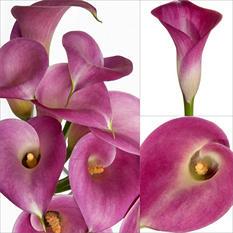 Mini Calla Lily - Pink - 100 Stems
