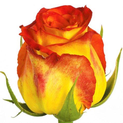 Roses, Circus (100 stems)